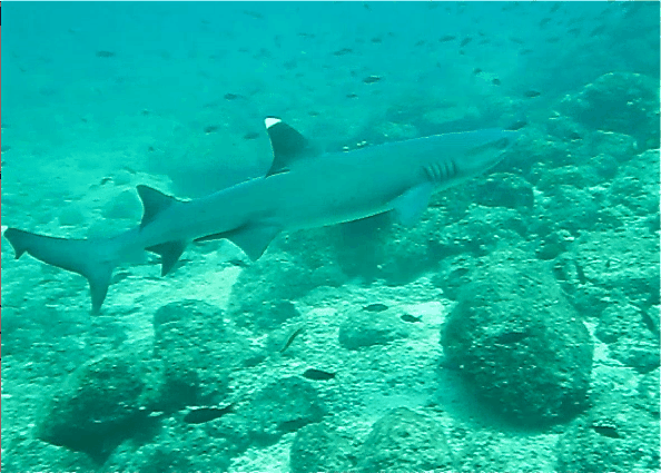 white-tipped-reef-shark-panama