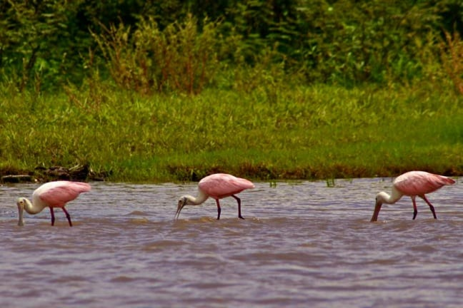 Roseate Spoonbills in Tortuguero National Park