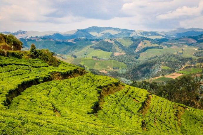 Tea Plantations Flourish 20 Years After the Rwanda Genocide