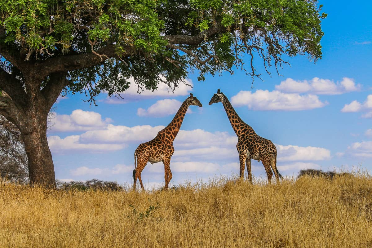 50 Fascinating Facts About Giraffes