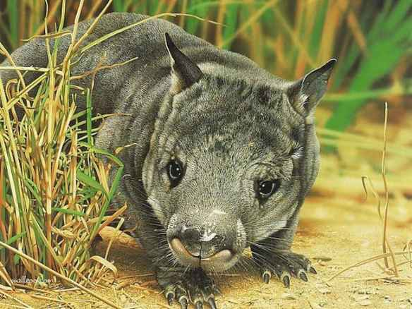 Weird Animals, Northern Hairy-Nosed Wombat