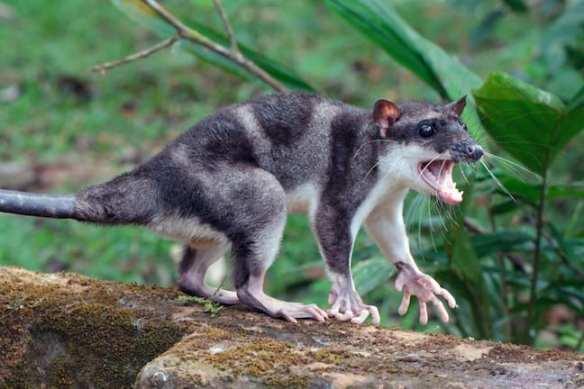 Weird Animals, Yapok