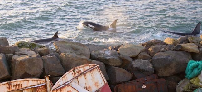 Killer Whales in Torshavan, Faroe Islands