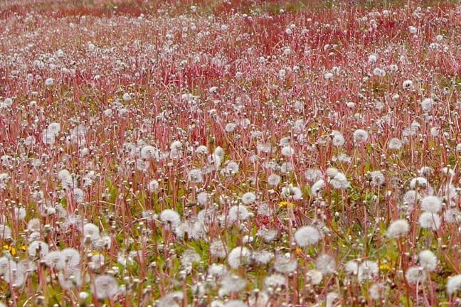 Dandelion Field in Torres del Paine National Park