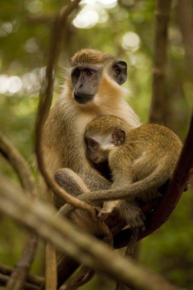 Green Monkey at Barbados WIldlife Reserve