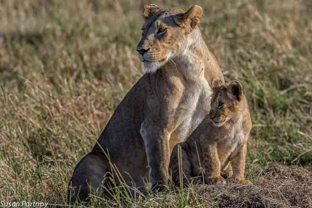 The connection between Walking With Lions and canned lion hunting
