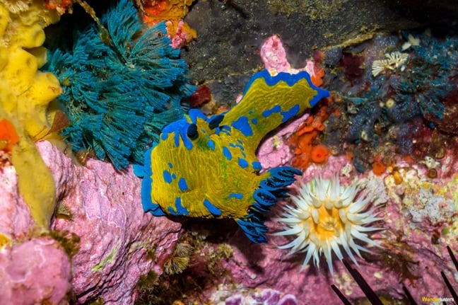 Nudibranch at Poor Knights Islands Marine Reserve, New Zealand