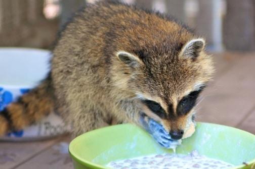 Raccoon at CROW oN Sanibel Island, Florida