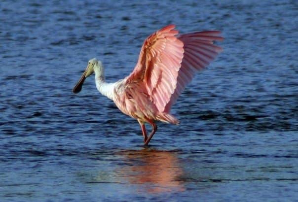 Roseate Spoonbill on Sanibel Island, Florida