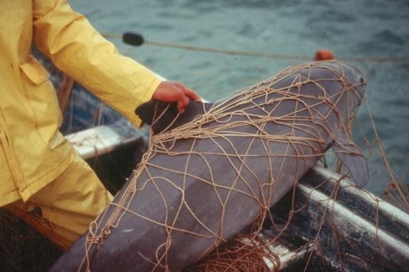 Vaquita caught in gillnet
