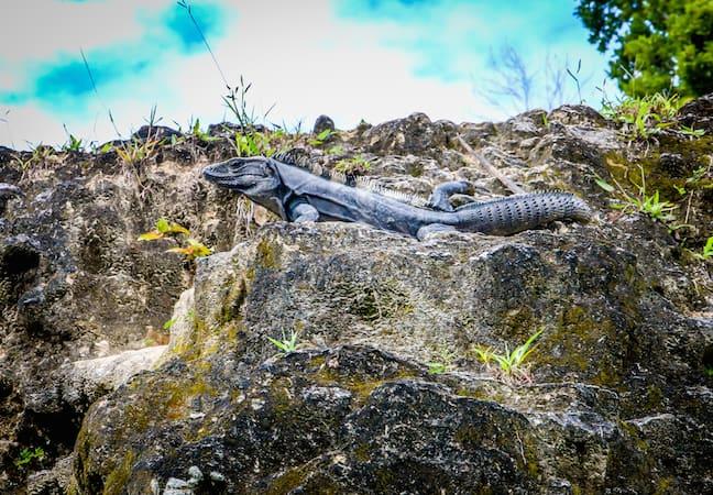 Black Spiny-Tail Iguana at Xunantunich, Belize