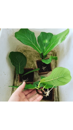 ficus lyrata propagation growth rate