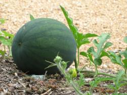 Melons growing in North Carolina.