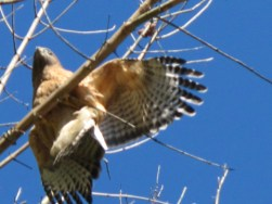 Red-shouldered hawk visits me daily