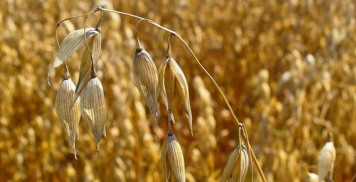 Cambio trigo por avena en 4 productos