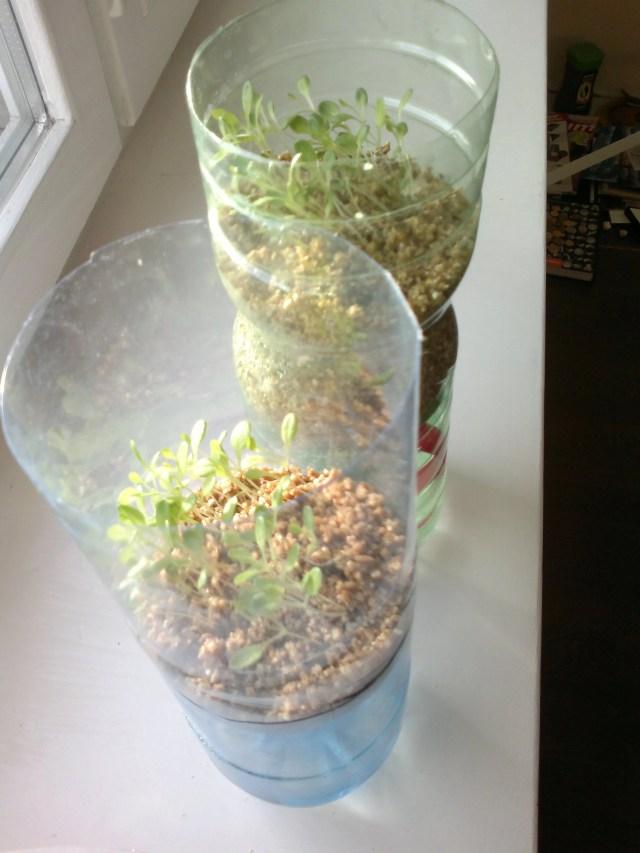 greenhousebay.ru - Выращивание салата 2 неделя