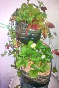 greenhousebay.ru Как сделать кашпо с автополивом из бутылки Клубника цветет