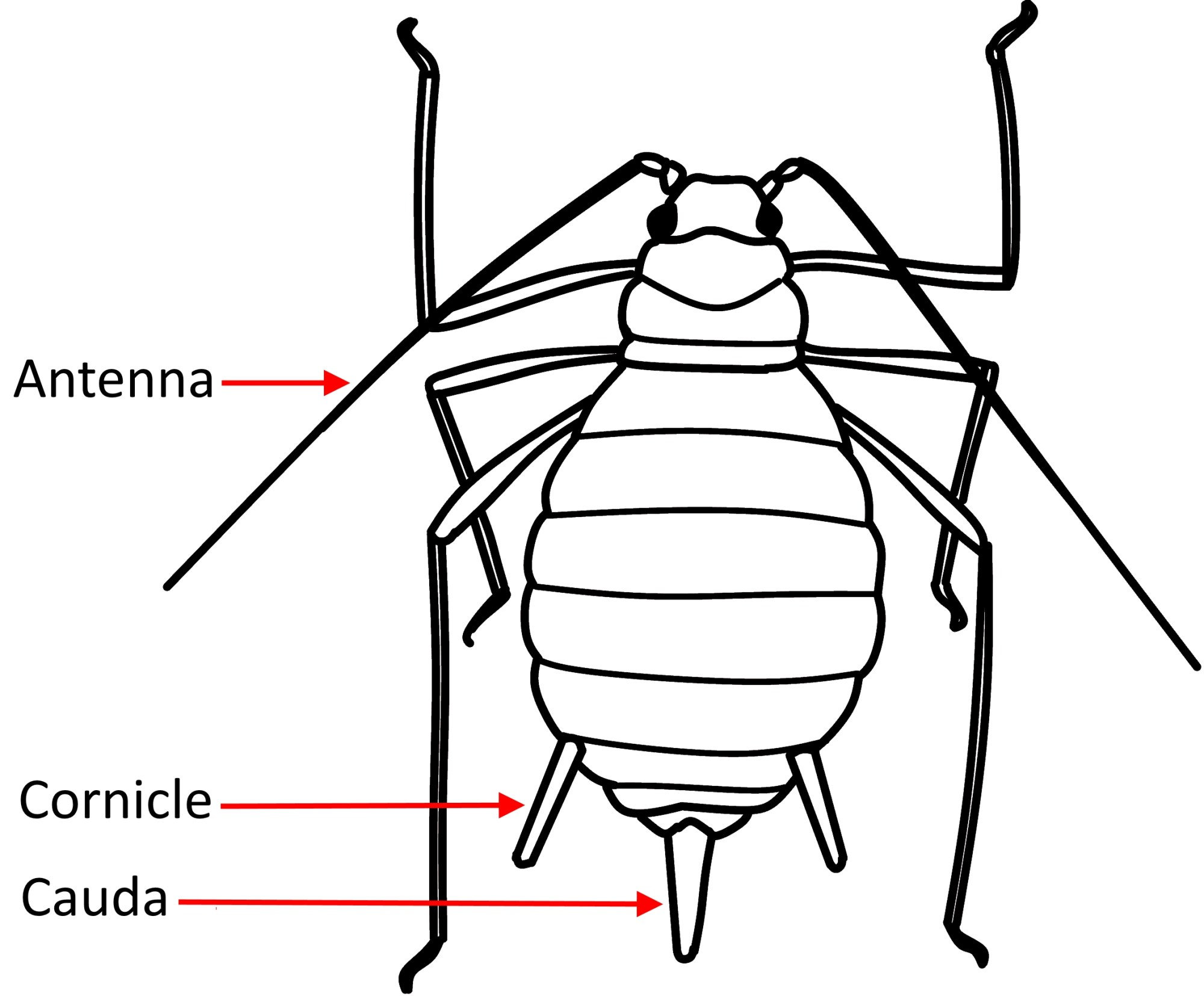 hight resolution of aphid diagram wiring diagram librariesaphid greenhouse ipmkey aphid anatomy diagram