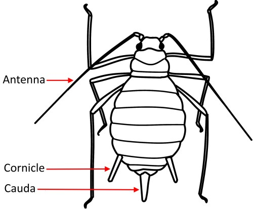 small resolution of aphid diagram wiring diagram librariesaphid greenhouse ipmkey aphid anatomy diagram