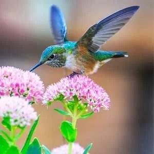 Are hummingbirds good for flower Garden?