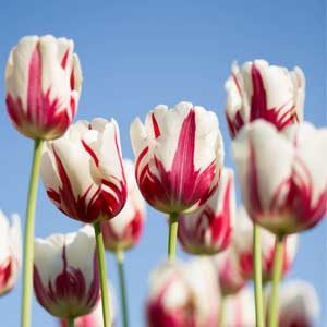 how-to-grow-tulips-indoors-greenhouse-featured-ima