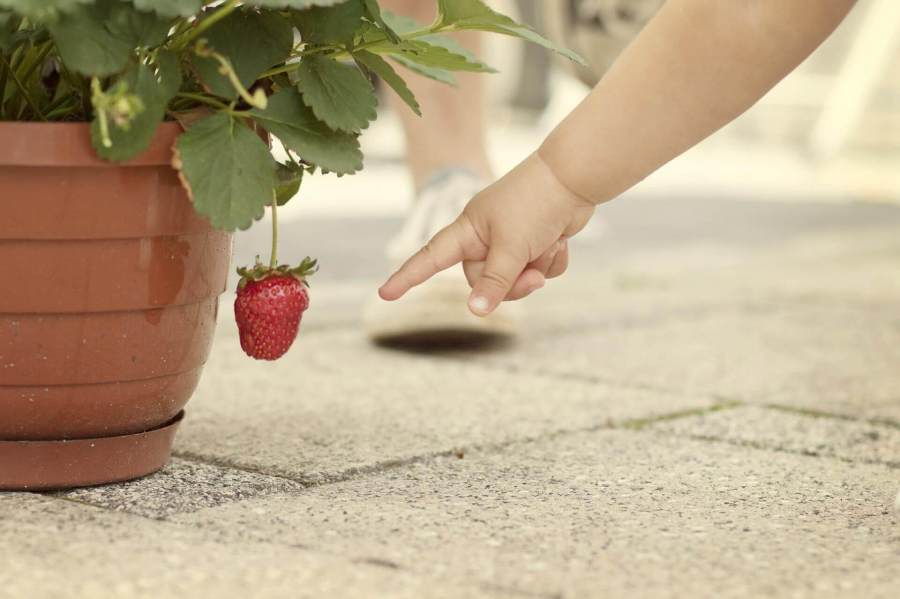 to grow starwberries in a pot you need you have the seads ready then you will sow your strawberry seeds in your garden