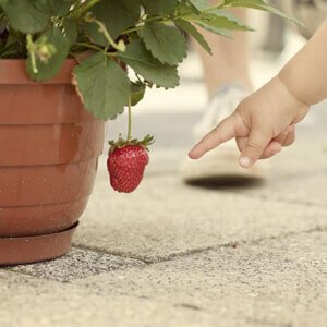 How to grow strawberries in pots from seeds pic featured image