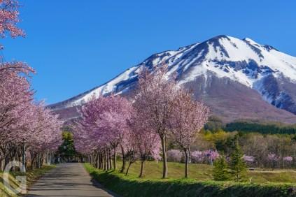 運動公園入口の桜並木