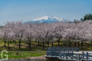 鶴の舞橋からの桜
