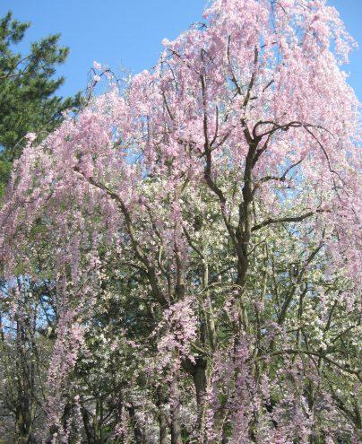 博物館前枝垂れ桜
