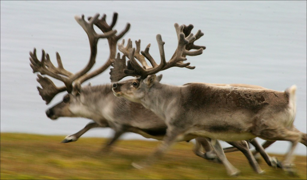 Greenland animals