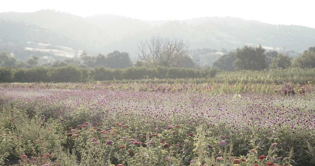 full belly farm, flower field, flowers, farms, farm life