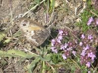 Grayling butterfly on Thyme flower at Llangrannog