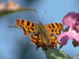Comma butterfly at Cwm Cou, near Newcastle Emlyn