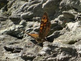 Wall butterfly at Mwnt