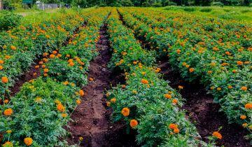 Η τέχνη της συγκαλλιέργειας, μια παραδοσιακή γεωργική πρακτική