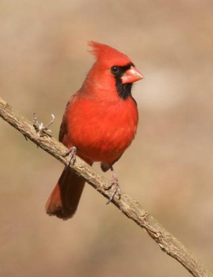 Backyard bird watch red cardinal
