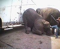 Bailey Brothers Circus, Swain elephant - download at 4shared. Bailey Brothers Circus, Swain elephant is hosted at free file sharing service 4shared. Tags: Bailey Brothers Circus, Swain elephant  photo