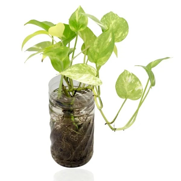 houseplants for cleaning indoor air_Golden pothos