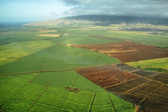 maui sugarcane fields hemp