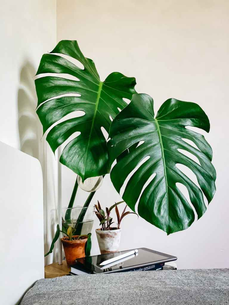 monstera deliciosa planed in vase arranged on table near laptop in bedroom. 3 Powerful Ways to De-Clutter Your Home.
