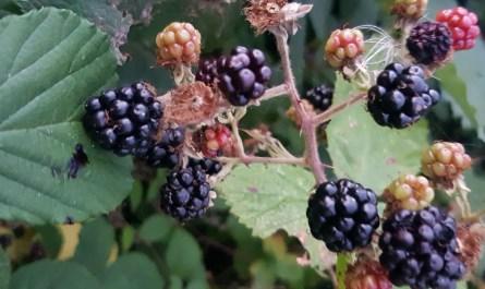 wild blackberry jam