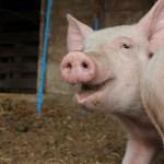 Update – $200 Pig Challenge
