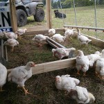 Pasture Chicken Waterer