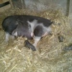 The Great Farrowing Disaster of 2014