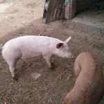 Attack Pig!