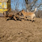 Ferocious Herding Dog & Friends