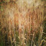 First Barley Harvest
