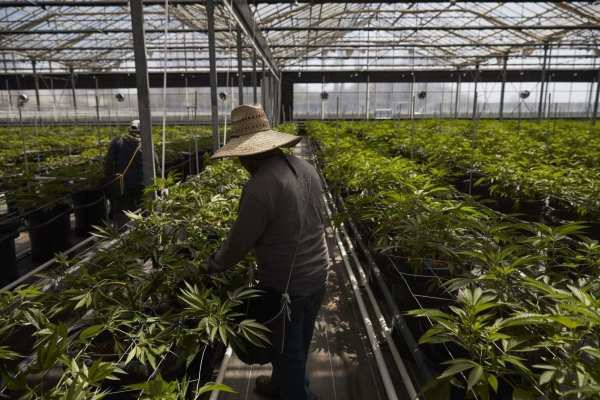 A greenhouse growing cannabis plants at Glass House Farms in Carpinteria, Calif.. in Santa Barbara County, a center for licensed cannabis growers in the state. PHOTO: JAE C. HONG/ASSOCIATED PRESS