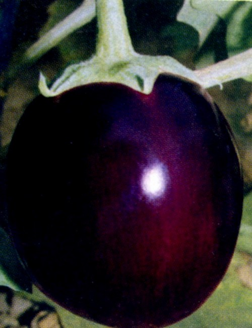 F1 Hybrid Round Brinjal Seeds  GreenMyLife  Anyone can